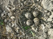 Red Wattled Lapwing Eggs In The Nest royalty free stock image