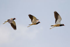 Red-wattled Lapwing in flight, bird with red wattle flying again Royalty Free Stock Photos