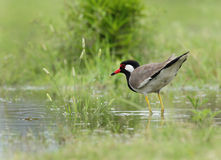 Red-wattled Lapwing Royalty Free Stock Photos