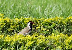 Red-wattled Lapwing in the hedges Royalty Free Stock Image