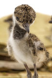 Red-wattled Lapwing kids Royalty Free Stock Photography