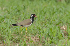 Red-wattled lapwing. The red-wattled lapwing is a lapwing or large plover, a wader in the family Charadriidae. It has characteristic loud alarm calls which are Royalty Free Stock Image