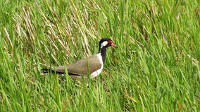 Red Wattled Lapwing stock photos