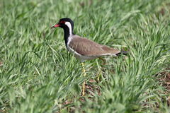 Red wattled lapwing. Are large waders, about 35 cm long. the wings and back are light brown with a purple sheen, but head and chest and front part of neck are Royalty Free Stock Image