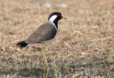 Red wattled lapwing. Are large waders, about 35 cm long. the wings and back are light brown with a purple sheen, but head and chest and front part of neck are Royalty Free Stock Photo