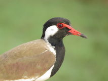 Red Wattled Lapwing Portrait Royalty Free Stock Photo