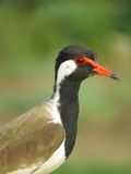 Red Wattled Lapwing Portrait vertical Stock Photos