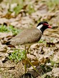 A red wattled lapwing Royalty Free Stock Image