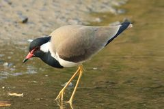 Red Wattled Lapwing. The red-wattled lapwing Vanellus indicus is a lapwing or large plover, a wader in the family Charadriidae. Like other lapwings they are Stock Photo