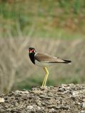 Red Wattled Lapwing - Side view close portrait Royalty Free Stock Images