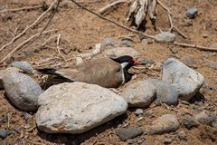 Red Wattled Lapwing sits on her Vanellus indicus nest of four eggs in the United Arab Emirates royalty free stock images
