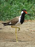 Red Wattled Lapwing stand on one leg Royalty Free Stock Photo