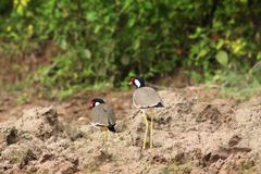 Red-wattled lapwing Stock Images