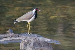 Red Wattled  Lapwing Royalty Free Stock Photography