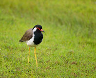 Red-wattled lapwing (Vanellus indicus) Stock Images