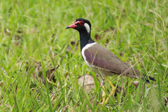 Red-wattled Lapwing, Vanellus indicus Royalty Free Stock Photos