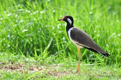Red-wattled lapwing (Vanellus indicus) Royalty Free Stock Images
