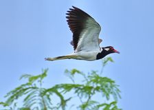Red-wattled Lapwing Vanellus Indicus bird spread its wings majestically as it flies over a fern tree. This Red-wattled Lapwing Vanellus Indicus caught in royalty free stock photography