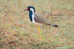 Red-wattled lapwing Stock Photos