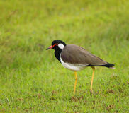 Red-wattled lapwing - Vanellus indicus lankae Stock Photography