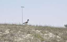 Red-wattled Lapwing (Vanellus indicus) Royalty Free Stock Photography