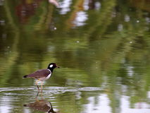 Red-wattled lapwing Royalty Free Stock Images