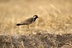 Red wattled lapwing Stock Images