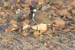 Red-wattled Lapwing in the Wilds Royalty Free Stock Image