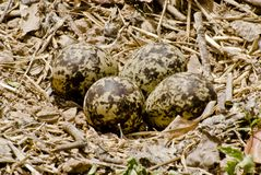 Red wattled lawpwing eggs. Well camouflaged eggs of red wattled lapwing Royalty Free Stock Image