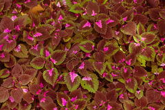 Red, wavy leaves. In garden royalty free stock image