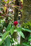 Red Wax Ginger Plant and Tall Trees. Big Island, Papikou, Hawaii royalty free stock photos