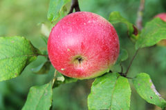 Red Wealthy apple on apple tree branch. Royalty Free Stock Photography