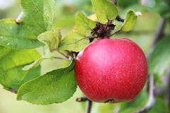 Red Wealthy apple on apple tree branch. Stock Photos