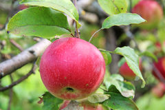 Red Wealthy apple on apple tree branch. Royalty Free Stock Photo