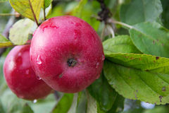 Red Wealthy apples on apple tree branch. Stock Photography