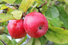 Red Wealthy apples on apple tree branch. Stock Photos