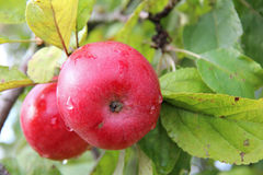 Red Wealthy apples on apple tree branch. Royalty Free Stock Images