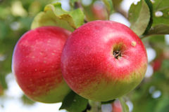 Red Wealthy apples on apple tree branch. Stock Image