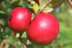 Red Wealthy apples on apple tree branch. Stock Images