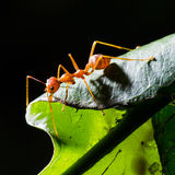 Red weaver ant. Close up of red weaver ant on green leaf (its habitat stock photography