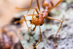 Red weaver ant Stock Photos