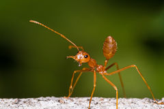 Red weaver ant Royalty Free Stock Photo