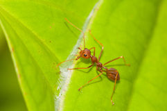 Red Weaver Ant Guard Royalty Free Stock Photography