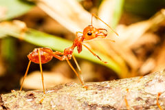 Red weaver ant Stock Image