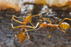 Red weaver ants Stock Image