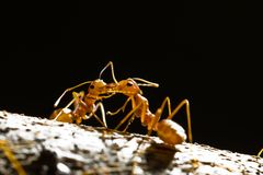 Red weaver ants Royalty Free Stock Images