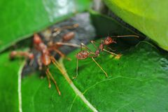 Red weaver ants Stock Photos