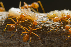 Red weaver ants Stock Photos