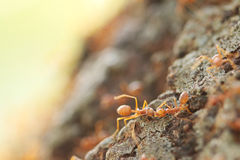 Red weaver ants help together. Royalty Free Stock Photos
