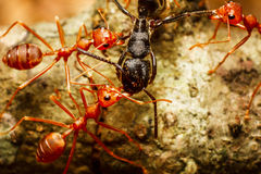 Red weaver ants teamwork Royalty Free Stock Photo